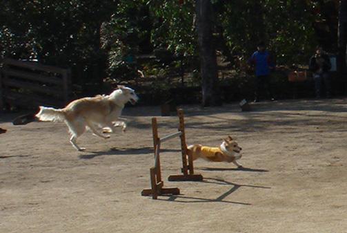 ロシアの狼狩り犬ボルゾイとったどー!