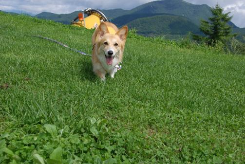我が家の犬は芝生では足が見えない