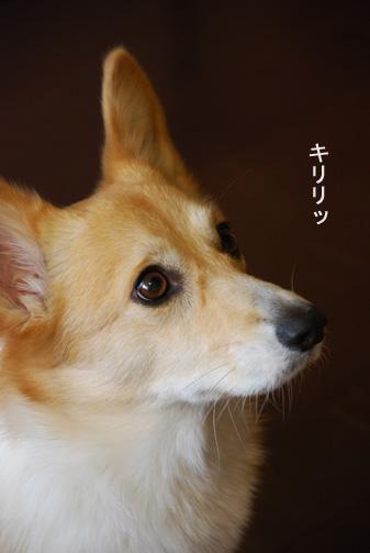 小京都の犬ですえ