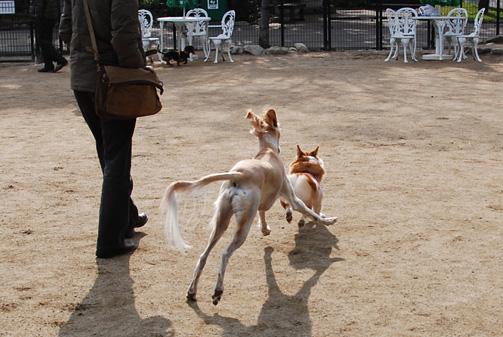 神聖な狩猟犬サルーキとったどー!