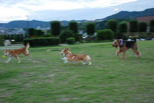 日本犬もキライではないと思う